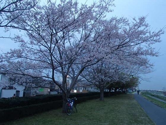 DBK桜 (5)