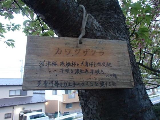 DBK桜 (8)