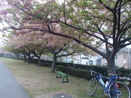 DBK桜 (9)