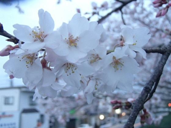 DBK桜 (6)
