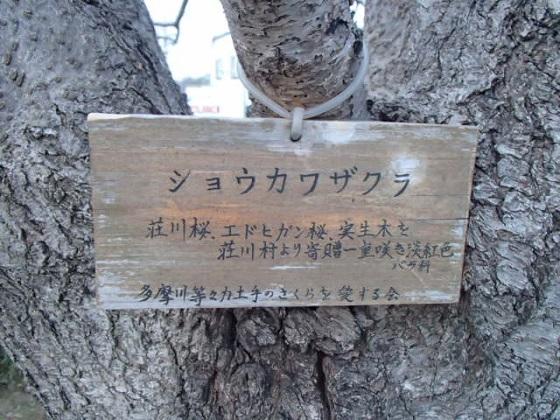 DBK桜 (7)