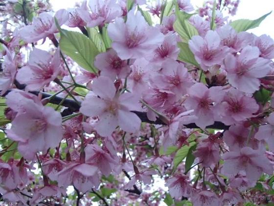 DBK桜 (10)