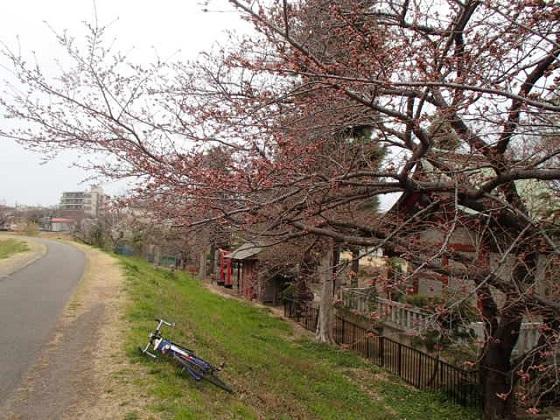 DBK桜 (11)