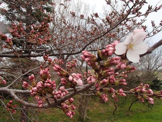 DBK桜 (12)