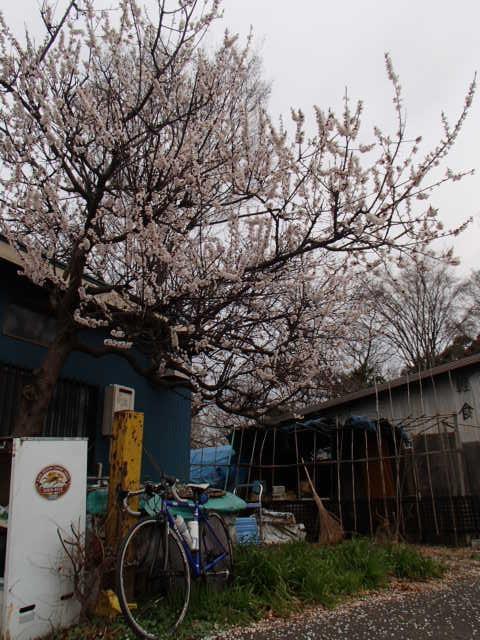 DBK桜 (15)