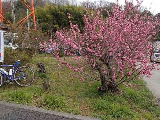 DBK桜 (29)