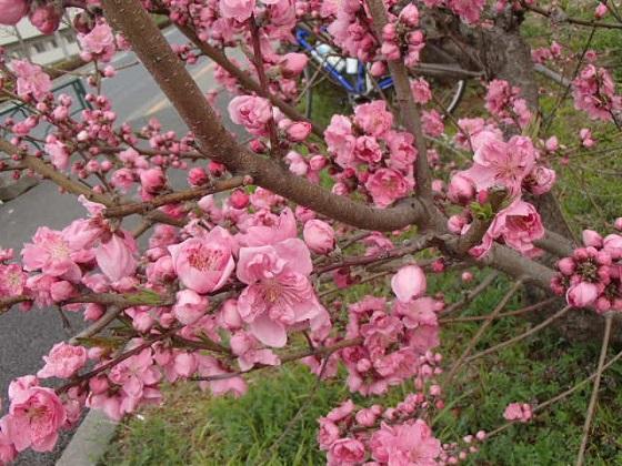 DBK桜 (31)