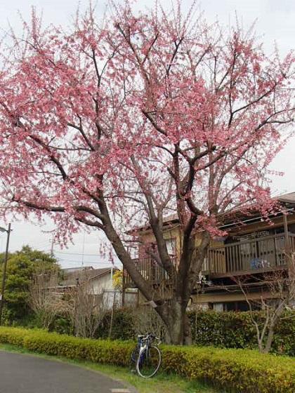 DBK桜 (32)