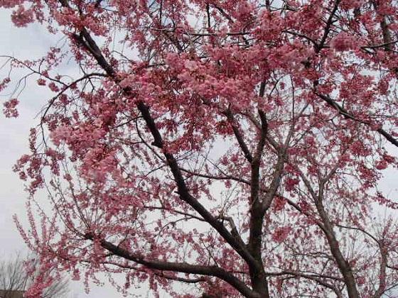 DBK桜 (33)