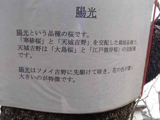 DBK桜 (34)