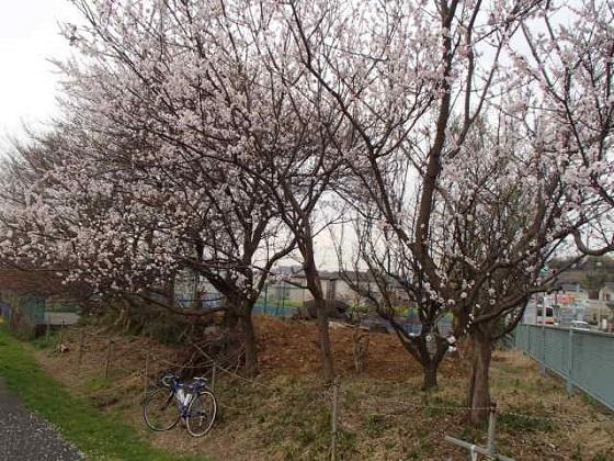 DBK桜 (36)