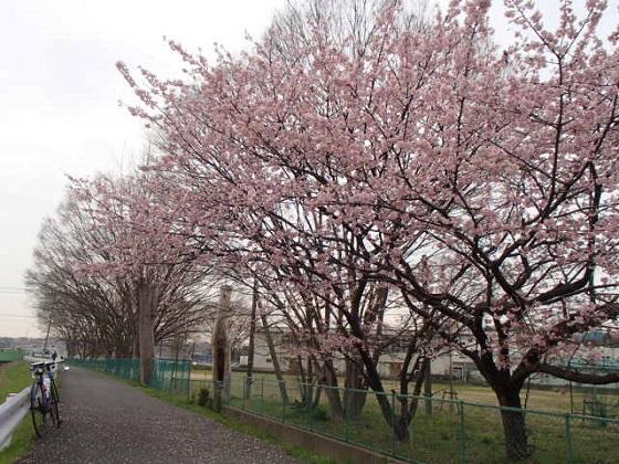 DBK桜 (38)