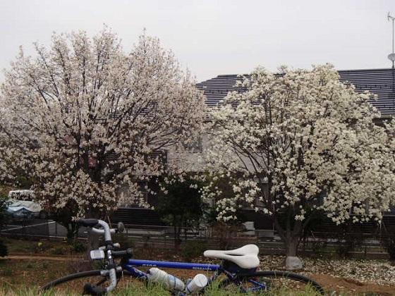 DBK桜 (39)