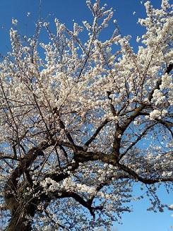 朝ラン_桜