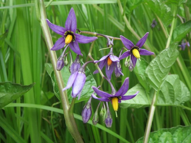 紫の花オオマルバノホロシ - 菅...
