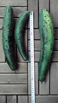 胡瓜622収穫