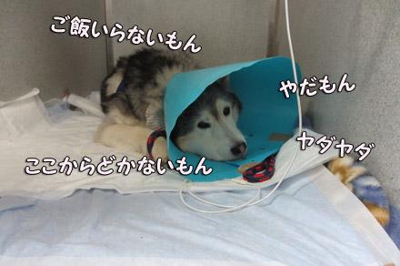 入院中のわがままトリュフ
