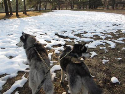 雪が残ってる~