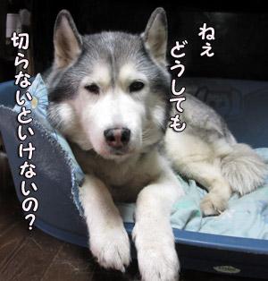 病犬とりゅふ