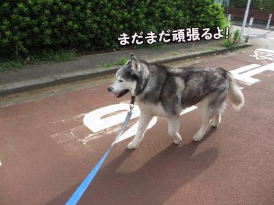 お散歩とりゅふ