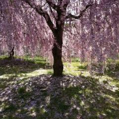 20140501桜