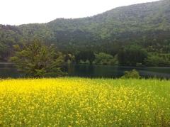 20140526CAAD10北竜湖菜の花