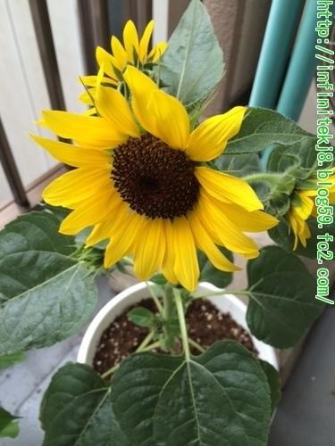 sunflower0622.jpg