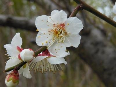 六枚花びらの梅