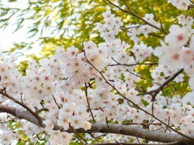 ウチの山の桜
