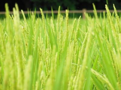 御神田の稲