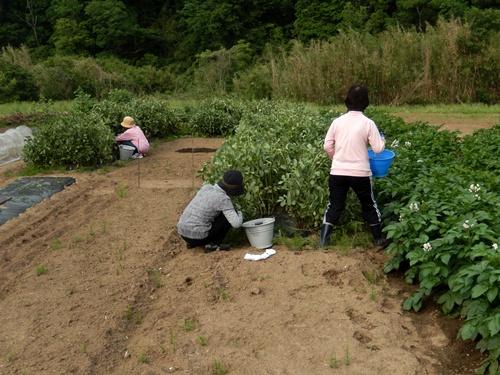 2014.5.29 そらまめ収穫 023 (2)