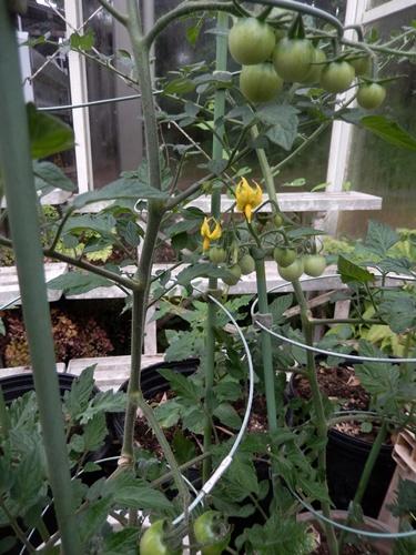 2014.6.8 温室で栽培 019