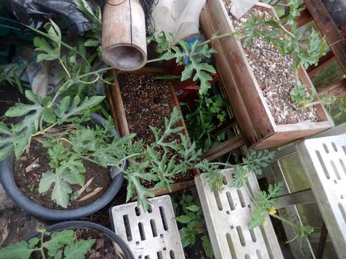 2014.6.8 温室で栽培 019 (6)
