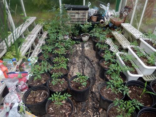 2014.6.8 温室で栽培 019 (3)