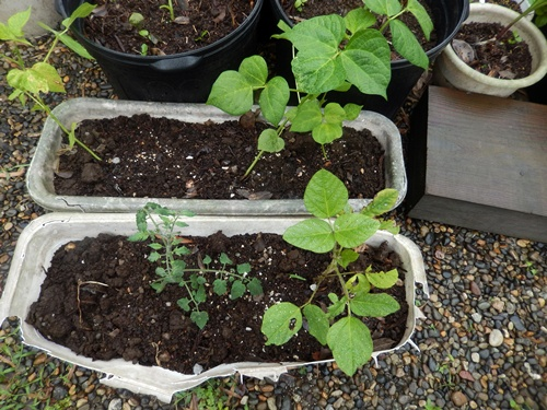 2014.6.8 温室で栽培 019 (2)