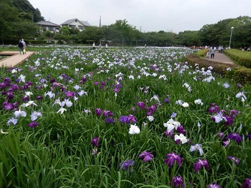 2014.6.10 袖ヶ浦公園のあやめ園 032