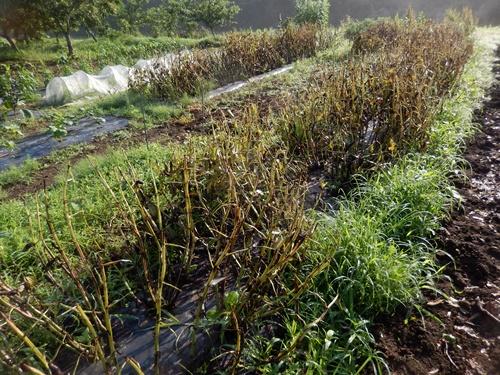 2014.6.20 畑の野菜 055 (5)