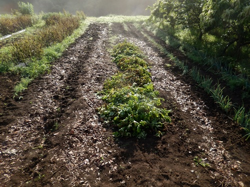2014.6.20 畑の野菜 055 (1)