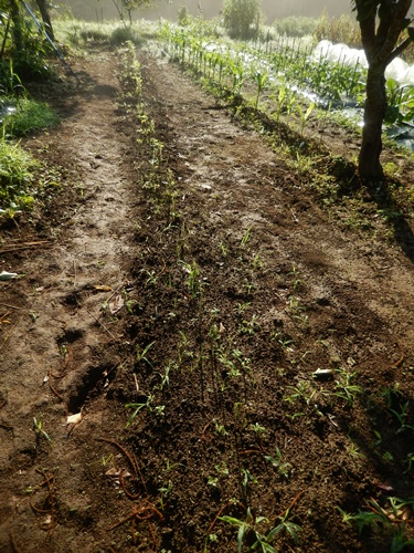 2014.6.20 畑の野菜 055 (10)