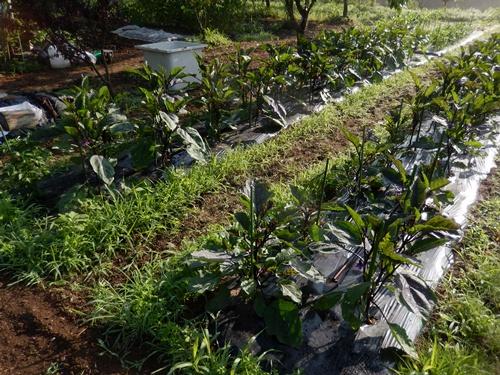 2014.6.20 畑の野菜 055 (9)