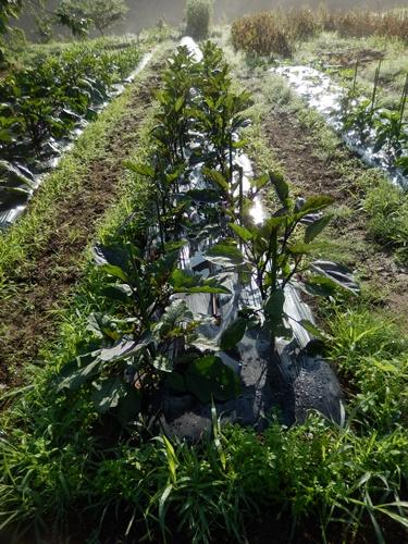 2014.6.20 畑の野菜 055 (8)