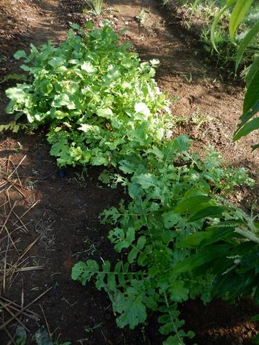 2014.6.20 畑の野菜 055 (17)