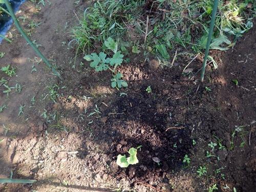 2014.6.20 畑の野菜 055 (15)