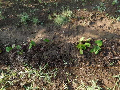 2014.6.20 畑の野菜 055