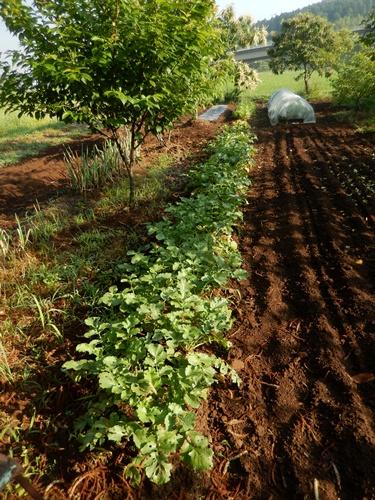 2014.6.20 畑の野菜 055 (24)