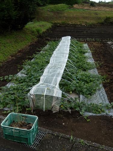 2014.6.25 高倉(古籐田家)の野菜畑 096 (4)