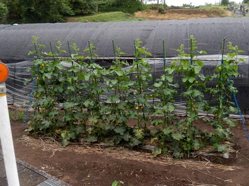 2014.6.25 高倉(古籐田家)の野菜畑 096 (3)