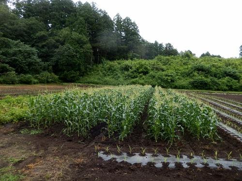 2014.6.25 高倉(古籐田家)の野菜畑 096