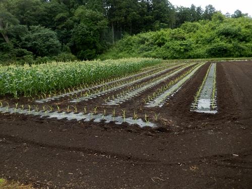 2014.6.25 高倉(古籐田家)の野菜畑 096 (10)