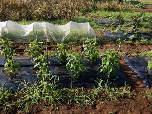 2014.6.20 畑の野菜 055 (12)
